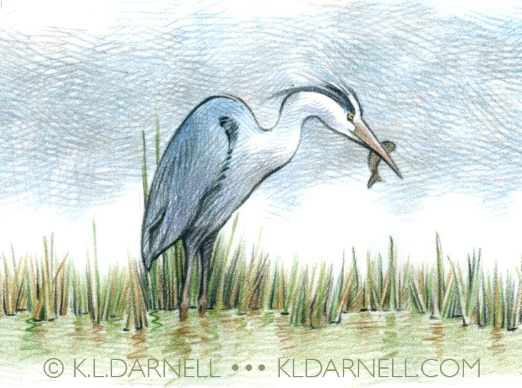 Great Blue Heron drawn in colored pencil