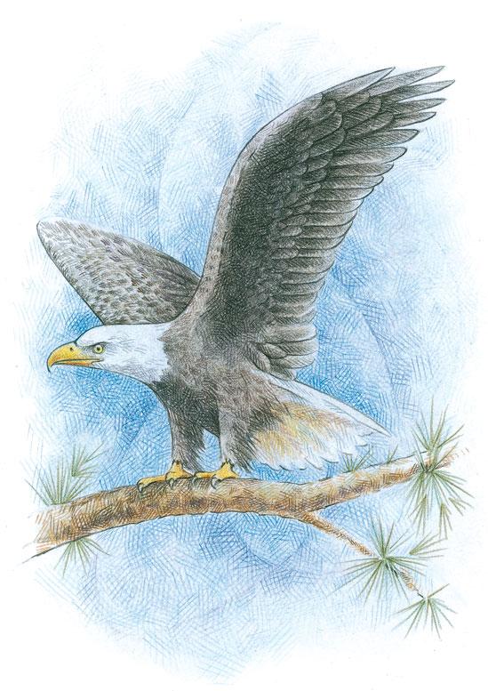 Bald eagle drawn in colored pencil