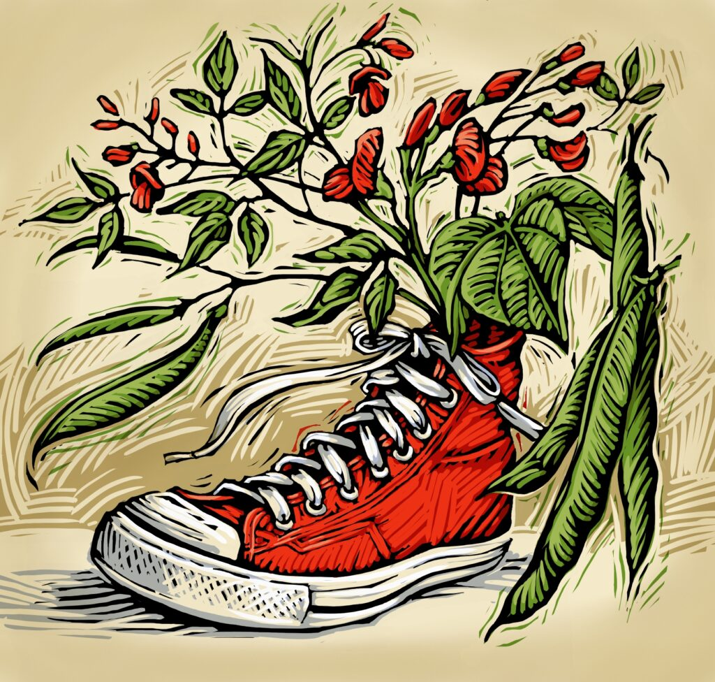 Red tennis shoe with bean plant and string beans